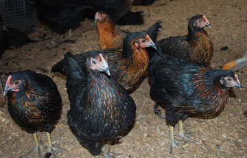 Silkies Chickens